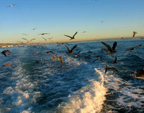 Birds. Seagulls following a boat Royalty Free Stock Photography