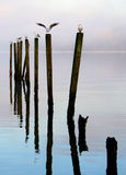 Birds. Resting on wooden posts on Loch Lomond, Scotland stock image