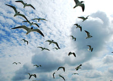 The Birds. Laughing gulls flying in the sky on Clearwater Beach, Florida Royalty Free Stock Photo