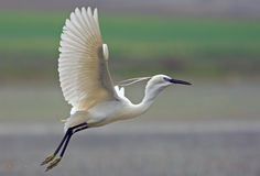 Birds. Photo of a great egret in flight, taken in april 2008 Stock Image