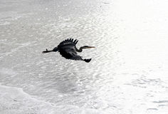 Birds. Big bird flying over a frozen lake stock photo