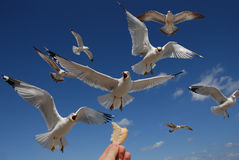 The Birds. The attack of hungry birds Stock Image