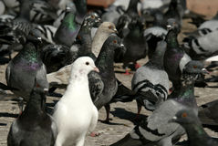 Birds. An image of white dove in a group of pigeon royalty free stock image
