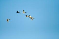 Birds. Flighting wild birds on sky near samall lake royalty free stock images