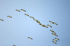 Birds. Flock of birds in the air royalty free stock photography