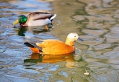 Birds. Mandarin duck swimming in the lake Royalty Free Stock Images