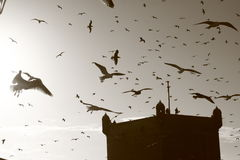 Birds. Above fortress in Essaouira royalty free stock images