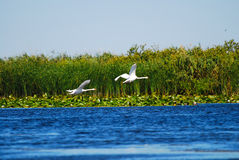 Birds above water with plants Stock Photography