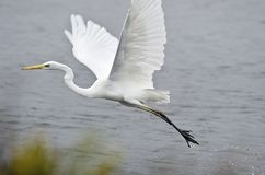 Egret Stock Photos