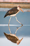 Birds of africa Royalty Free Stock Image