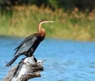Birds of Africa: African Darter. An African Darter (Anbinga malenogaster) at a lake in South Africa Stock Images