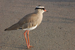 Birds of Africa: Crowned plover. A crowned plover (Vanellus coronatus) on green grass, South Africa Stock Image
