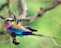 Birds of Africa: Lilacbreasted Roller. Lilacbreasted Roller (Coracias caudata) in South Africa stock image