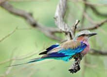 Birds of Africa: Lilacbreasted Roller. Lilacbreasted Roller (Coracias caudata) in South Africa stock images