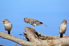 Birds of Africa - Scaly-faced Finch Family and Blue Stock Images