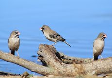 Birds of Africa - Scaly-faced Finch Family Stock Images
