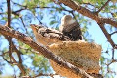 Birds from Africa - Shrike, Helmeted Stock Photography