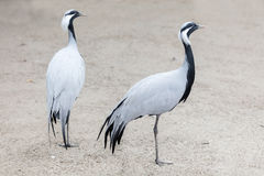 Birds African crane Royalty Free Stock Photo