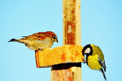 Birds of Altai. The titmouse and sparrow peck bread in winter day Royalty Free Stock Photography