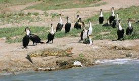 Free Birds And Crocodile In Uganda Stock Photography - 25617512