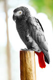 Birds, Animals. African Grey Parrot, Jako. Travel, Tourism. Thai Stock Photos