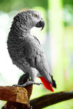 Birds, Animals. African Grey Parrot, Jako. Travel, Tourism. Thai Stock Photography
