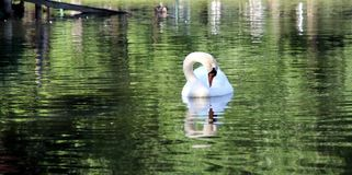 Birds Animals Park Boston Ma lakes Woter Bird swan Stock Photo