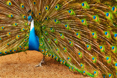 Birds, Animals. Peacock With Expanded Feathers. Thailand, Asia. Stock Image