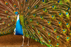 Birds, Animals. Peacock With Expanded Feathers. Thailand, Asia. Stock Photos