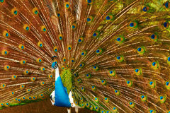 Birds, Animals. Peacock With Expanded Feathers. Thailand, Asia. Stock Images