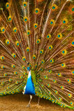 Birds, Animals. Peacock With Expanded Feathers. Thailand, Asia. Royalty Free Stock Images