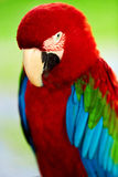 Birds, Animals. Red Scarlet Macaw Parrot. Travel, Tourism. Thail Royalty Free Stock Photos