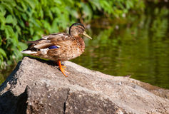 Birds and animals in wildlife. Amazing mallard duck on the stone Royalty Free Stock Image