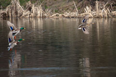 Birds and animals in wildlife. A brown mallard female duck and t. Wo male duck flying over the water at the park river landscape. Spring mating season. Courtship Stock Photography