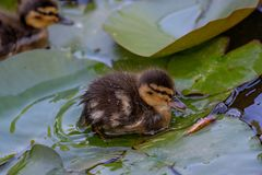 Birds and animals in wildlife. Close up of a Mallard Duck. Close up of a newborn Mallard Duck chick Anas platyrhynchos Royalty Free Stock Photo