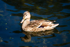 Birds and animals in wildlife. Close up of a  Mallard Duck. Fema Royalty Free Stock Photos