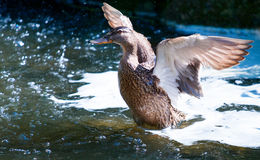 Birds and animals in wildlife. Duck landing on water. The Birds and animals in wildlife. Duck landing on water Royalty Free Stock Photography