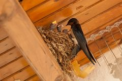 Birds and animals in wildlife. The swallow feeds the baby birds nesting.  royalty free stock image