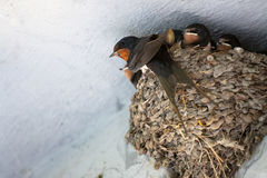 Birds and animals in wildlife. Swallow mom feeding young baby bi Royalty Free Stock Images