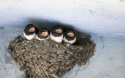 Birds and animals in wildlife. swallow`s Nest with Baby Barn Swa Royalty Free Stock Images