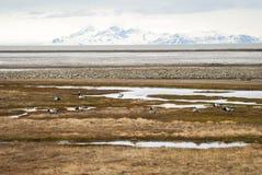 Birds in arctic tundra, Svalbard, Norway Royalty Free Stock Image