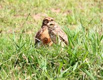 Birds athene cunicularia in the grass Royalty Free Stock Image