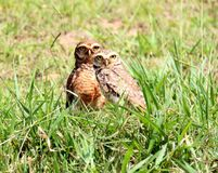 Birds athene cunicularia in the grass Royalty Free Stock Photos