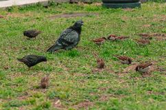 Birds on the background of green grass. A dove stands on the ground and looks ahead on a spring day. Sparrows and starlings on the background of green grass stock image