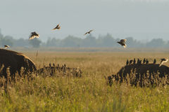 Birds backlit. Birds fly over large mammals in a field of wheat or grass. Sunset or sunrise natural light Stock Image