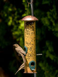 Birds on a backyard feeder snacking on seeds Stock Images