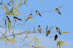 Birds on bamboo Stock Photo