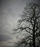 Birds and Bare Branches On A Very Old, Huge Tree 3. No leaves as its February - beautiful and majestic tree in my local park. hundreds of twisting branches royalty free stock photography