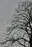 Birds and Bare Branches On A Very Old, Huge Tree. No leaves as its February - beautiful and majestic tree in my local park. hundreds of twisting branches, makes royalty free stock photo