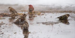 Birds bathing in a newly formed meltwater puddle of early March snow thaw. Stock Photography